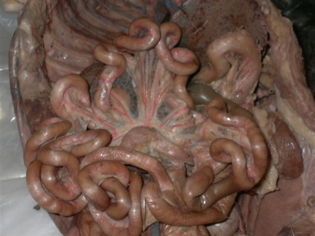 Dog Large Intestine
